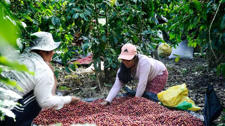 Cafetaleros salvadoreños advierten otro año difícil para el sector