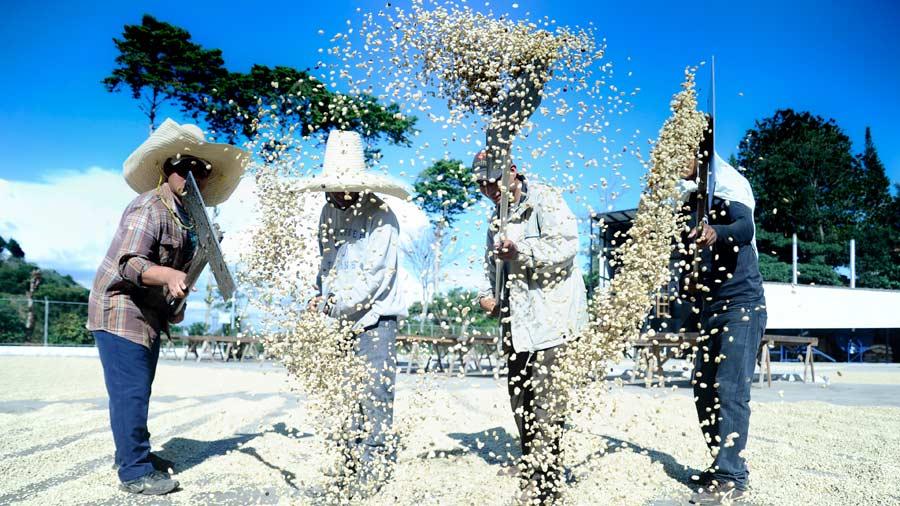 Cafetaleros salvadoreños aseguran que el sector opera con pérdidas