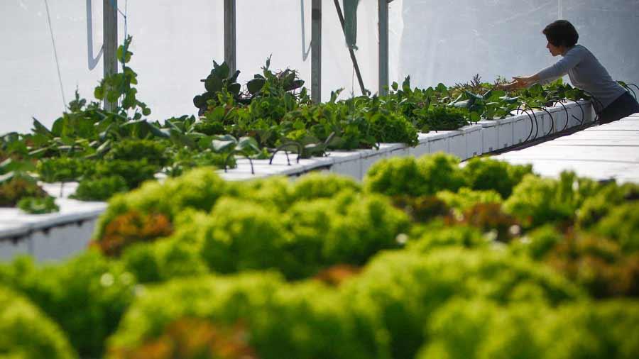 Sistemas hidropónicos van al rescate de los productores hondureños